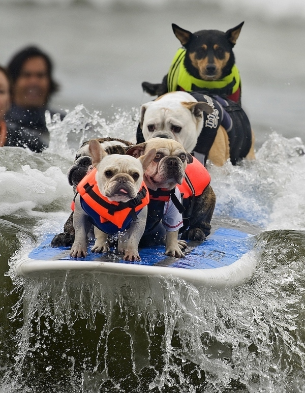 Check out these dogs that are surfing!  How goofy is this?!?!