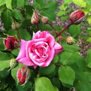 Open_rose