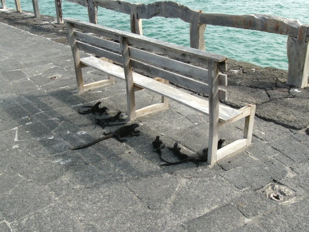Look at all of the iguanas under the bench!
