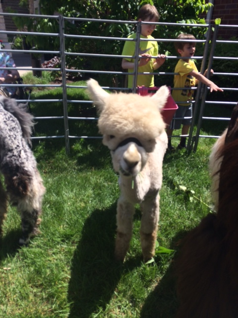Check out this ADORABLE alpaca from the petting zoo we visited next week! I think he was smiling for the photo!
