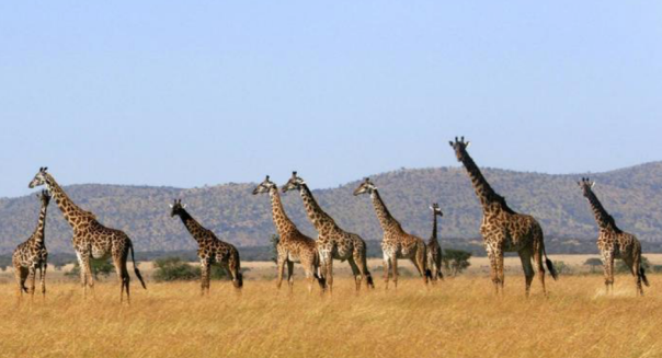 This is the picture we looked at and came up with the math question to investigate: How many legs do the giraffes have altogether?